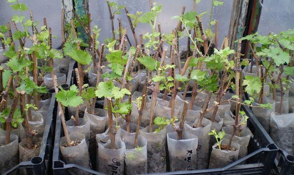 Саженцы винограда перед посадкой нуждаются в подготовке