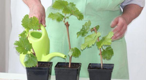 Черенки винограда для посадки надо укоренить