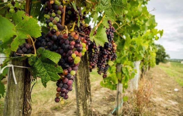 Регулярно осматривайте гроздья и листву растения