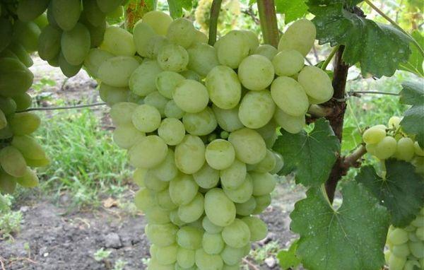 Виноград Лора предпочитает легкую почву на возвышенности
