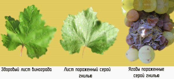 Серая гниль поражает листья и грону
