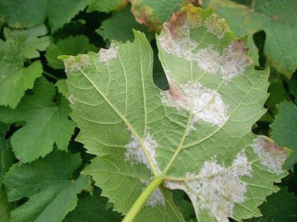 Нехватка удобрений может привести к желтению листьев