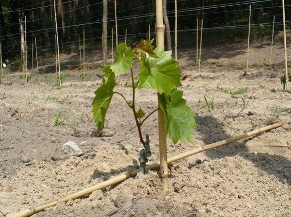 Виноград Ливия нуждается в двухразовом поливе за сезон