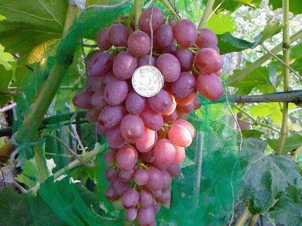 Виноград кишмиш Лучистый: описание и характеристика сорта