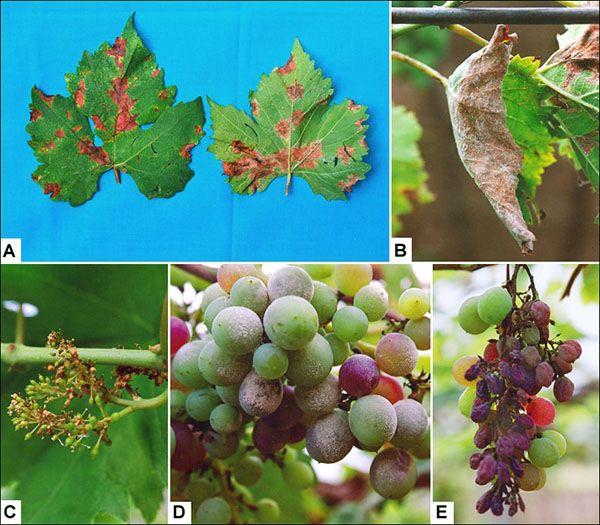 Милдью поражает все части винограда
