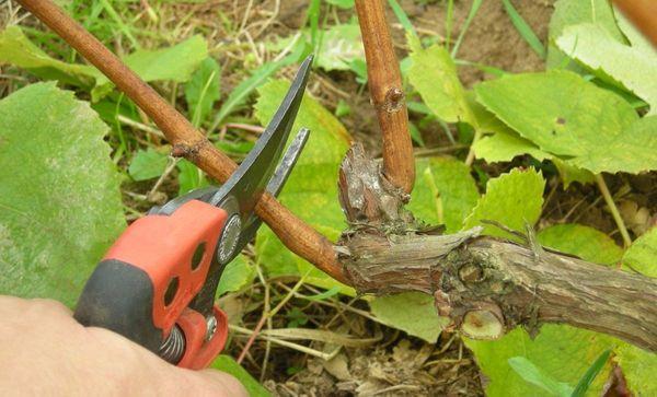 Не забывайте своевременно обрезать растение