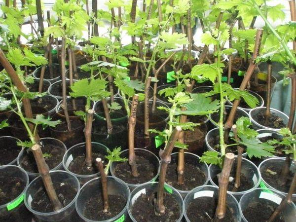 Виноград – уникальное растение