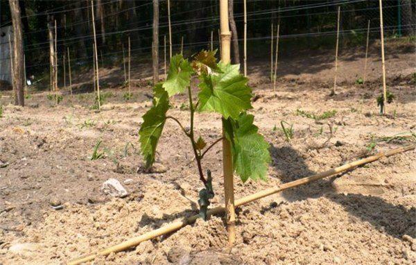 Посадка винограда: правила, схема, способы и дальнейший уход