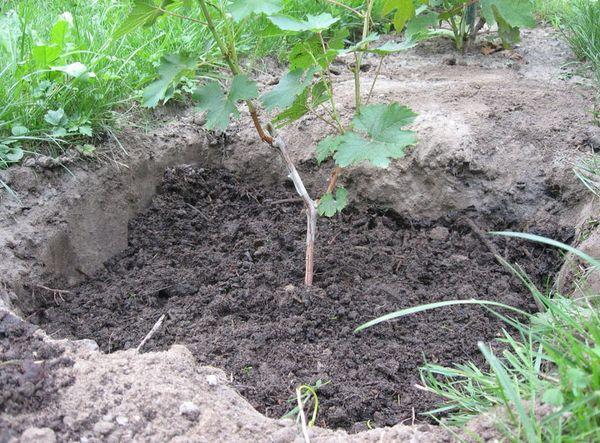 Лучше всего для винограда подойдет чернозем