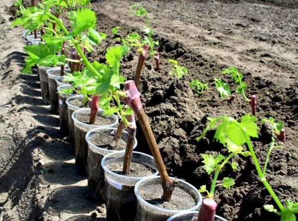 В осенний период лучше всего высаживать виноград черенками