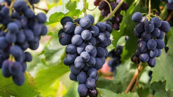 Популярный винный сорт Саперави