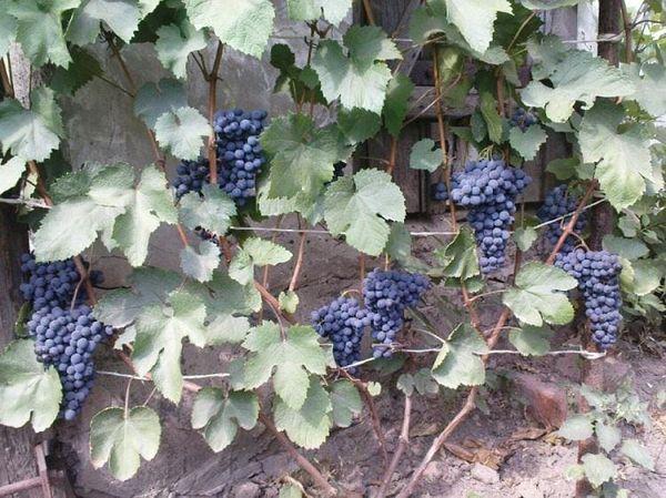 Каждая ягодка весит от 4 до 6 г