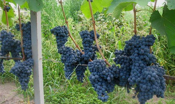 У сорта постоянная высокая урожайность и морозостойкость