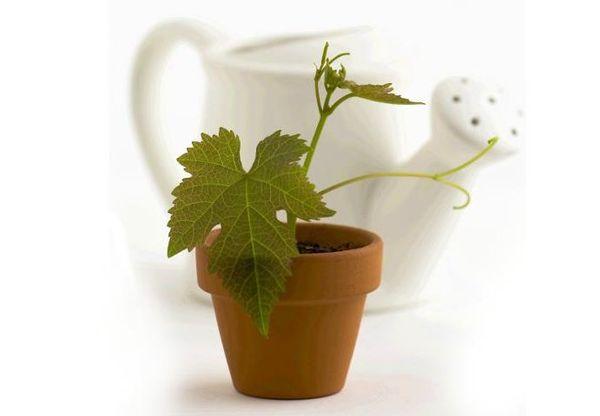 Виноград можно вырастить из семян