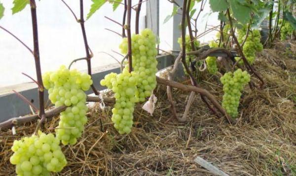 Виноград можно выращивать в теплице