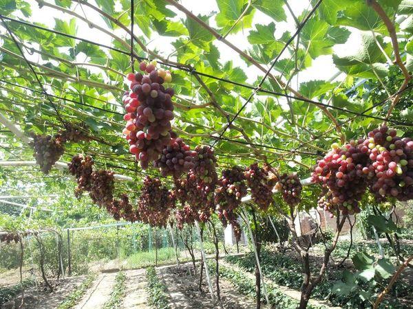 Урожай созреет в рекордно короткие сроки в теплице