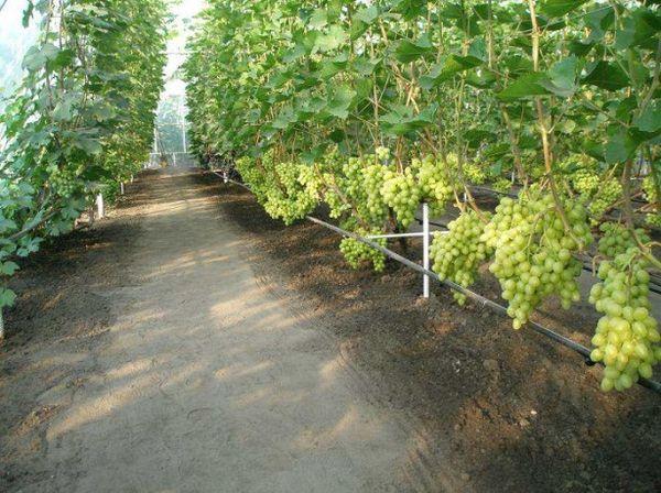 Виноград подвязывается к шпалерам