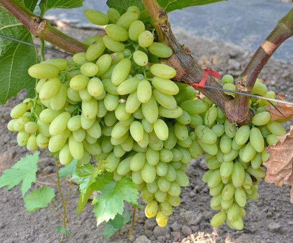 Виноград Кишмиш – бессемянный
