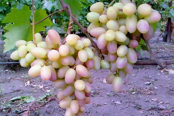 Популярный сорт винограда Виктор