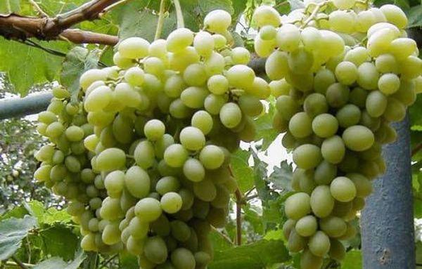 Виноград Восторг неприхотлив в уходе