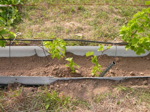 Виноград Юбилей Новочеркасска: описание и характеристика сорта