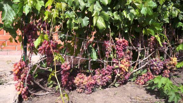 Данный сорт нуждается в нормировании гроздей