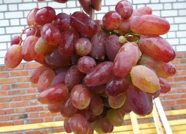 Популярный сорт винограда Юлиан