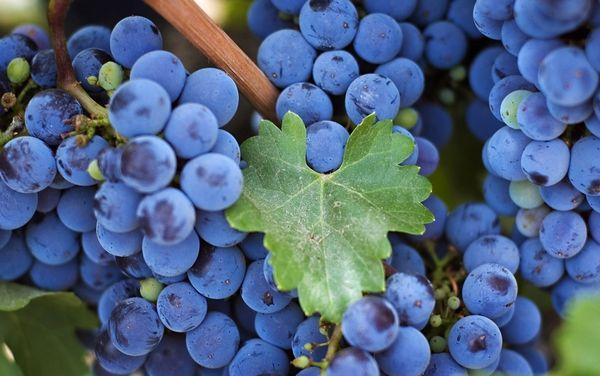 Виноград Изабелла хорошо переносит высокие температуры