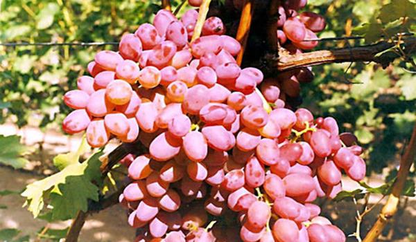 Виноград находка выдерживает температуру -23 °C
