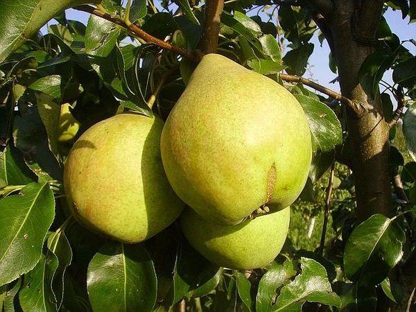 Плоды сорта довольно крупные 180–200 г