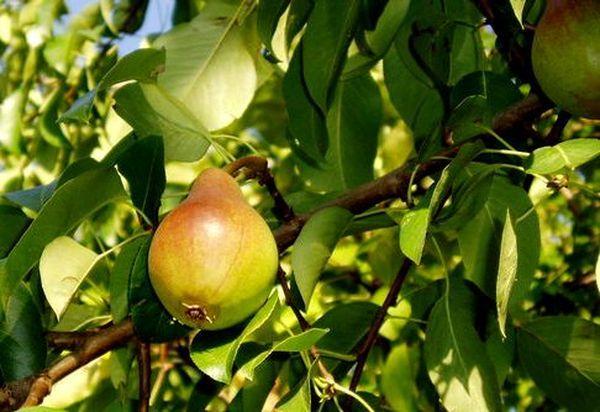 Урожайность сорта Заречная стабильно высокая