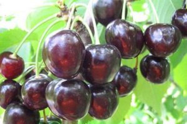 Антрацитовая вишня очень вынослива, выдерживает и морозы