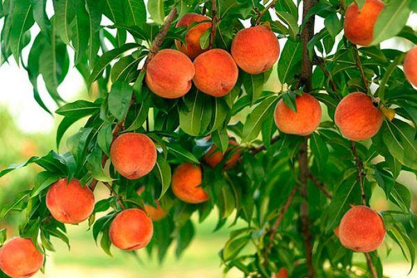 Персики хорошо растут в любом грунте