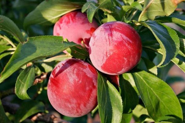 Слива Ренклод имеет прекрасные вкусовые качествае плодов