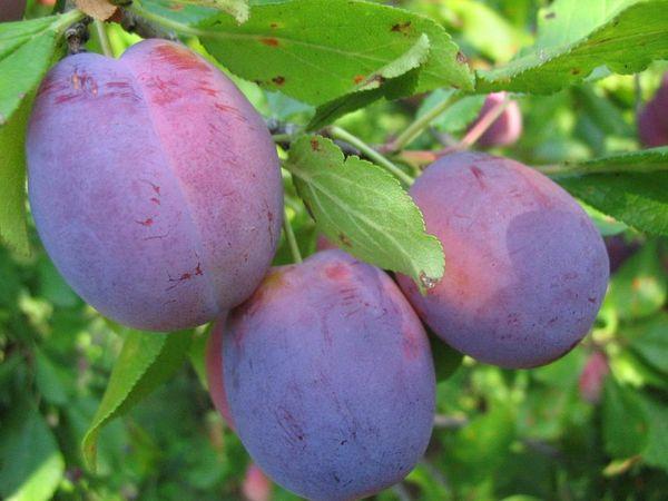 Слива Волжская красавица плодоносит на 4-5 год
