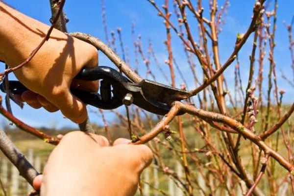 Восстановительную обрезку персика выполняют весной и осенью