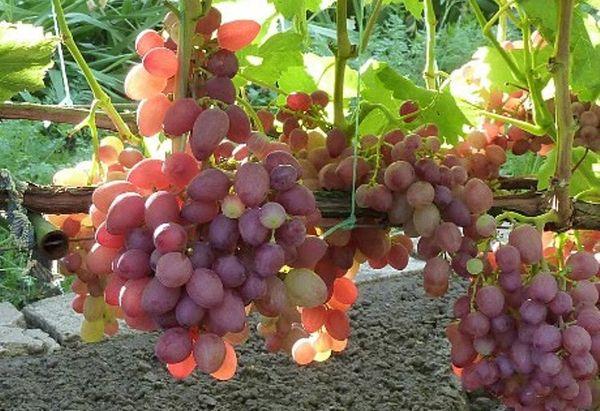 Виноград Анюта не может похвастаться упругой кожурой