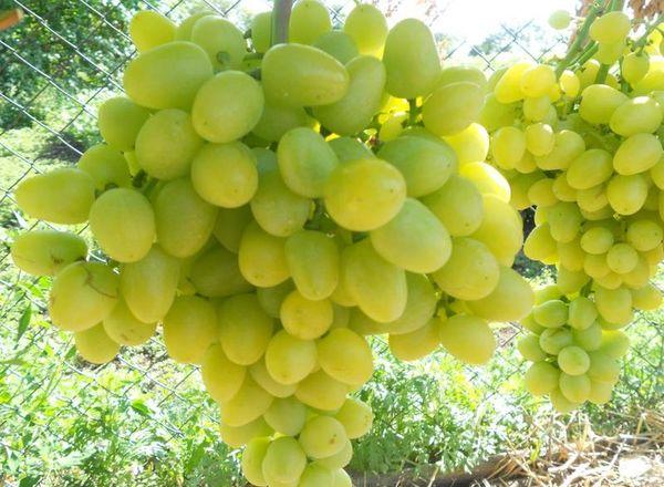 Высаживать виноград Аркадия можно весной и осенью