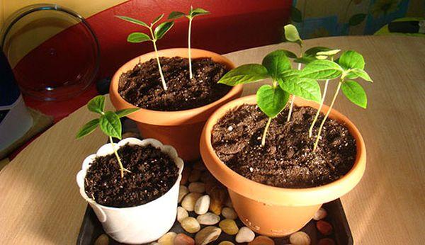 Выращивание персика из косточки – трудоемкий процесс