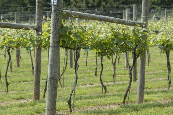 Деревянные шпалеры для винограда придают естественности ландшафту