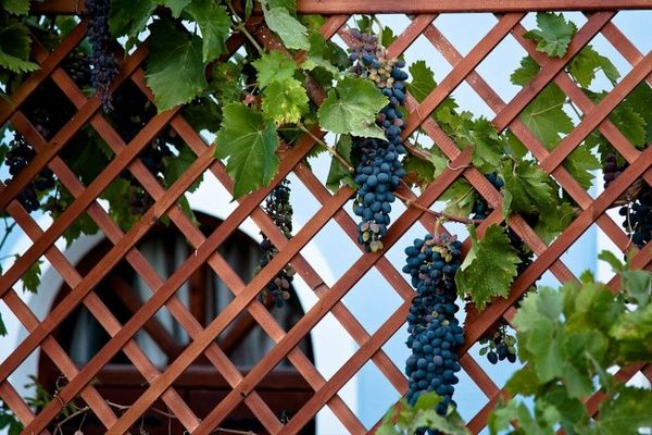 Вьющаяся виноградная лоза создает романтическую атмосферу
