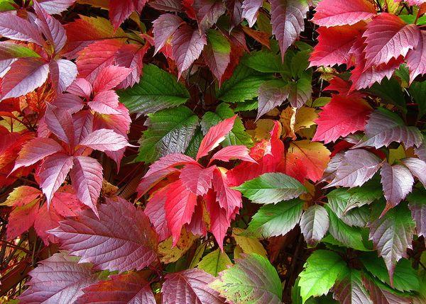 Для девичьего винограда характерны остроконечные листья