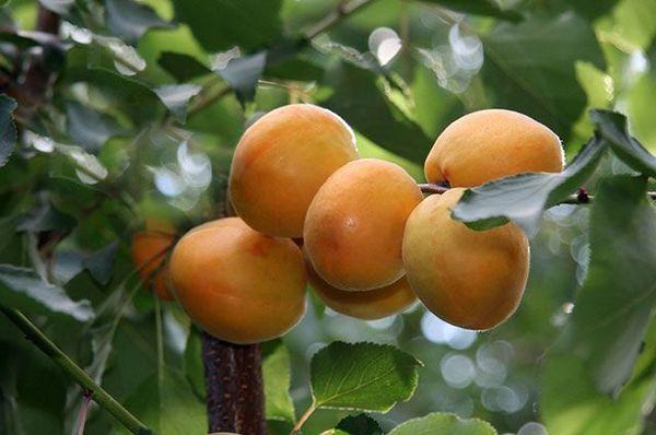 Когда созревают абрикосы в разных регионах: сроки