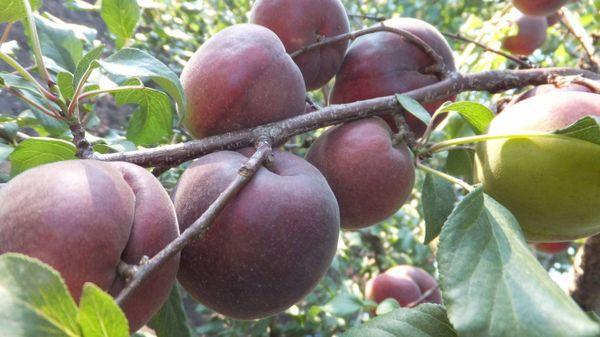 Приносить плоды Черный бархат начинает на 3-4 году