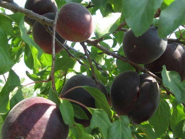 Черный мышонок имеет мелкие плоды