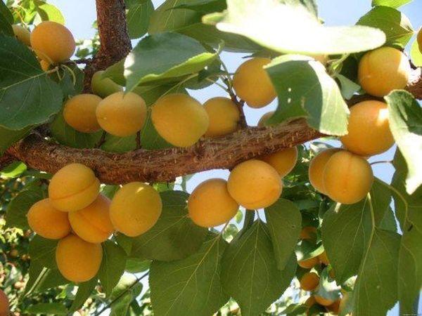 Ананасовые абрикосы требуют регулярной обрезки