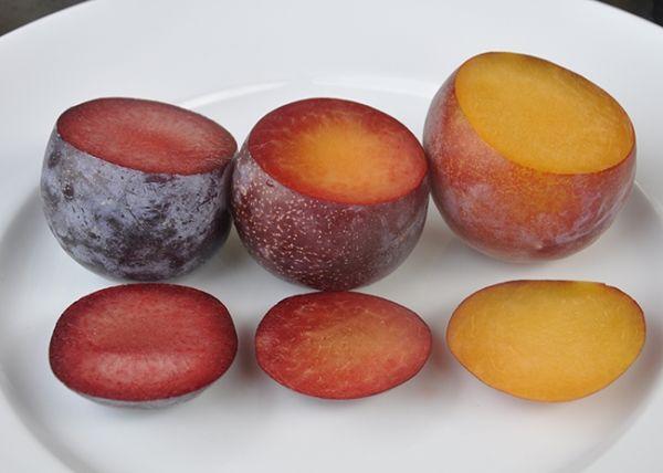 Самый популярный гибрид абрикоса и сливы