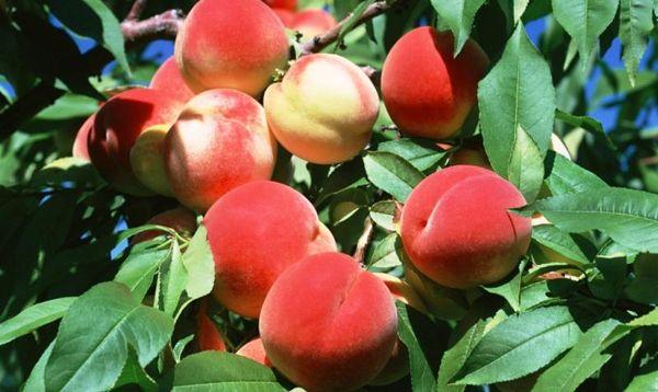 Вес одного спелого фрукта от 30 до 50 г