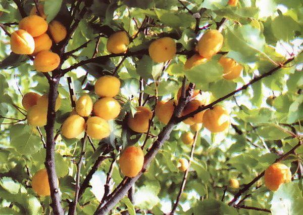 Фрукты Орловчанина обладают кислым вкусом