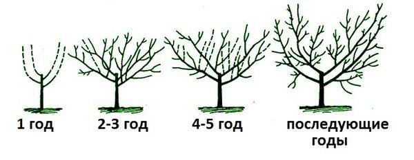 Обрезка абрикоса в зависимости от возраста